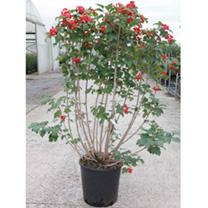 Viburnum opulus Plant - Compactum