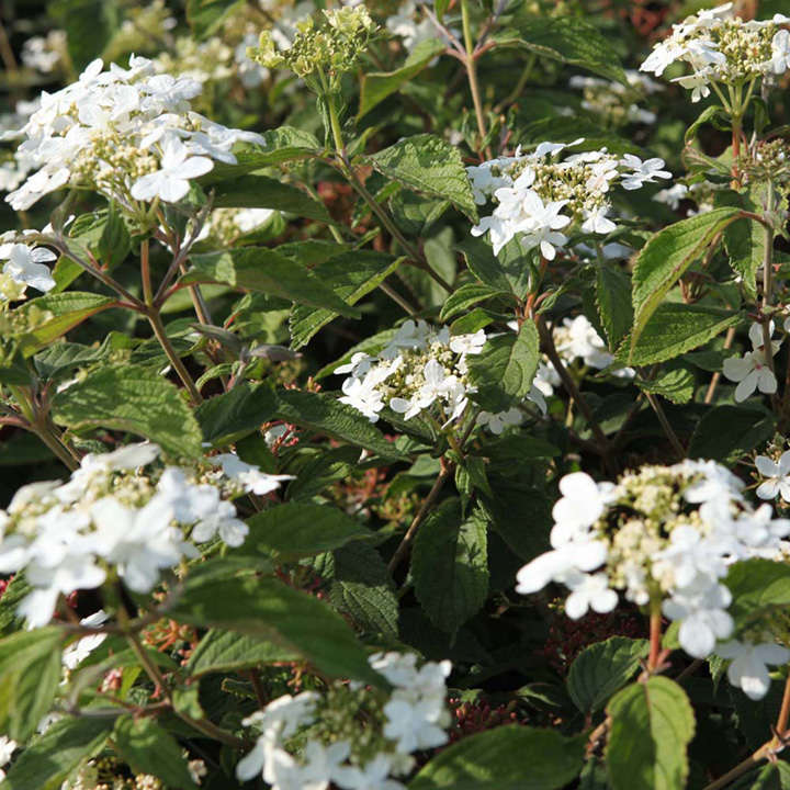 Viburnum Plant - Pragense
