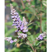 Vitex agnus-castus latifolia Plant
