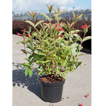 Weigela florida Plant - Brigela Moulin Rouge®