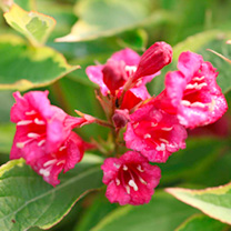 Weigela florida Plant - Brigela Moulin Rouge