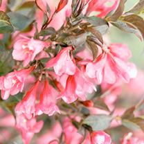 Weigela florida Plant - Minor Black