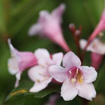 Weigela florida Plant - Victoria