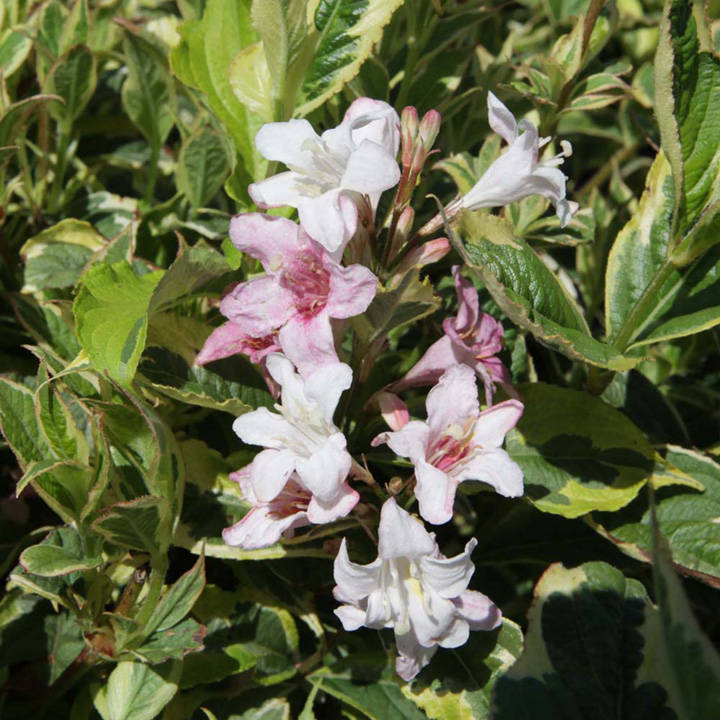 Weigela Plant - Naomi Campbell®