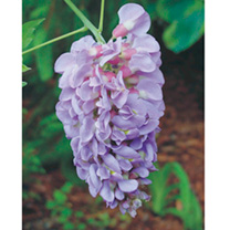 Amethyst Falls is a compact form of wisteria that is perfectly suited to grow in large pots beneath arches or pergolas. Dense clusters of lilac-blue f