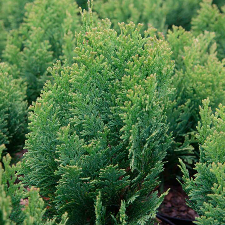 Chamaecyparis l. Plant - Minima Aurea