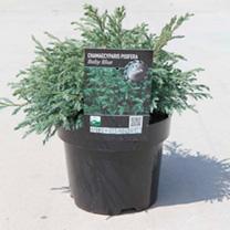 Chamaecyparis p. Plant - Baby Blue
