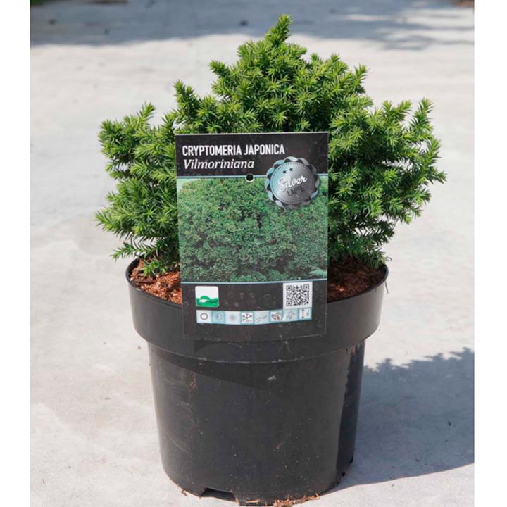 Cryptomeria japonica Plant - Viloriniana