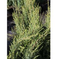 Juniperus communis Plant - Compressa