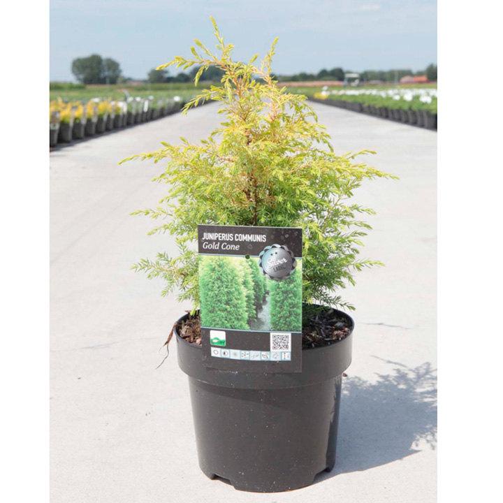 Juniperus communis Plant - Gold Cone