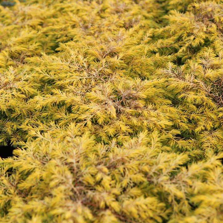 Juniperus conferta Plant - Blue Pacific