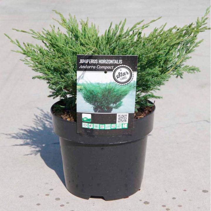 Juniperus hor. Plant - Andorra Compact