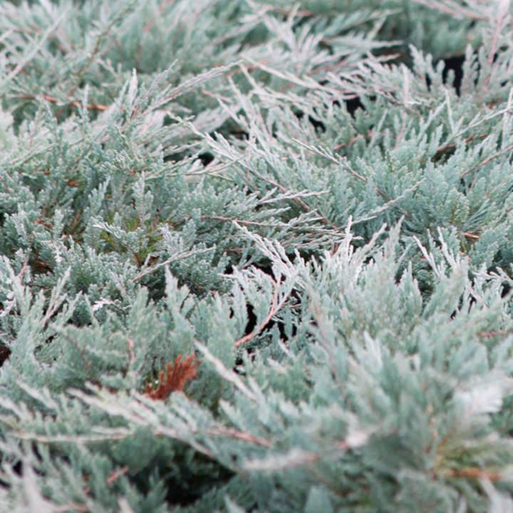 Juniperus horizontalis Plant - Blue Chip