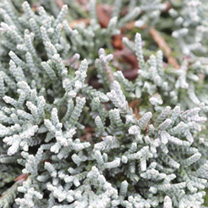 Juniperus horizontalis Plant - Jade River