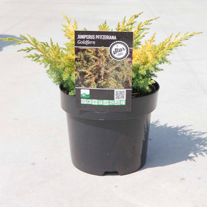 Juniperus Pfitzeriana Plant - Gold Fern