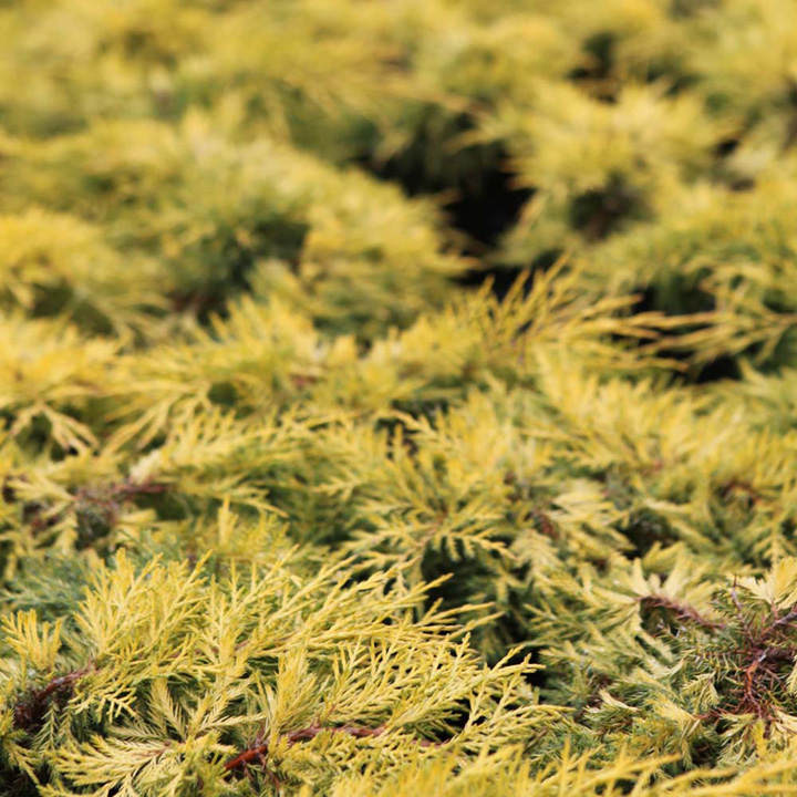 Juniperus Pfitzeriana Plant - Mint Julep