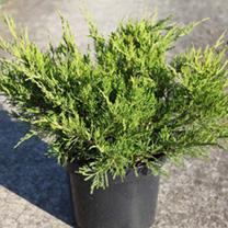 Juniperus pfitzeriana Plant - Old Gold