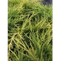 Juniperus procumbens 'Nana is a dense, compact, evergreen shrub with silvery blue-green, needle-like foliage turning bronze and purple tones during th