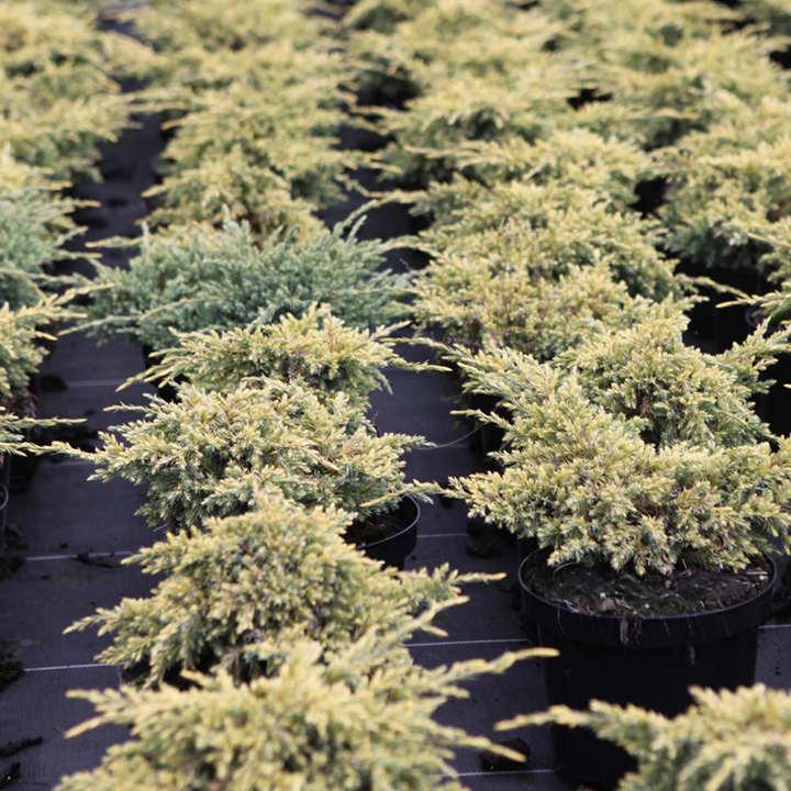 Juniperus squamata Plant - Loderi