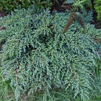 Juniperus squamata Plant - Meyeri
