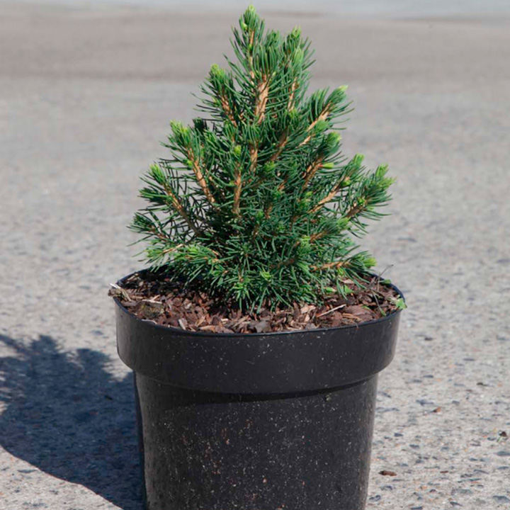 Picea abies Plant - Tompa