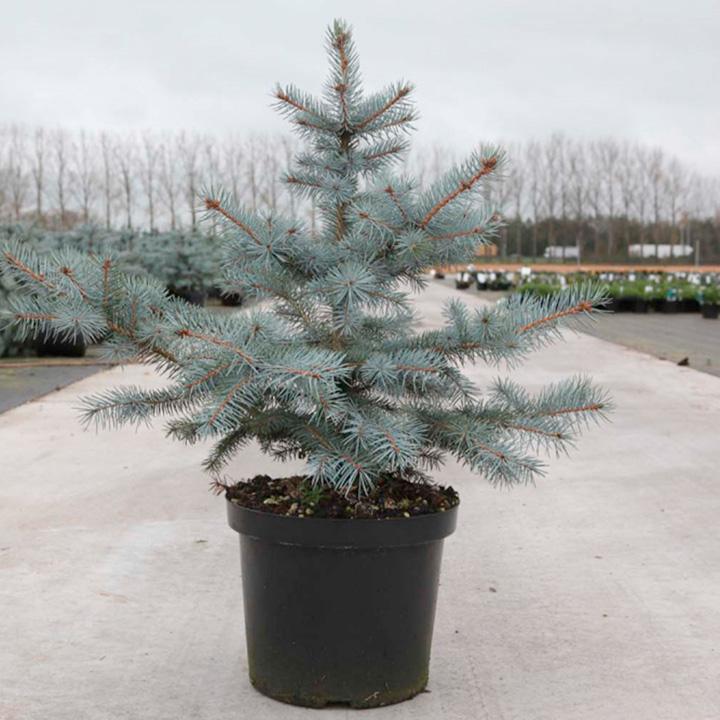 Picea pungens Plant - Blue Diamond®