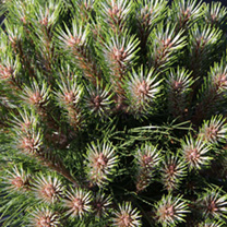 Pinus nigra Plant - Pierrick Brégeon® (Brepo)
