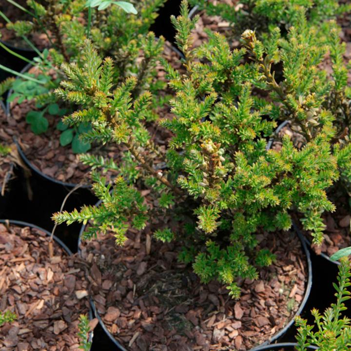 Podocarpus Plant - Guardsman®