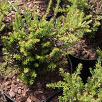 Podocarpus niv. Plant - Kilworth Cream