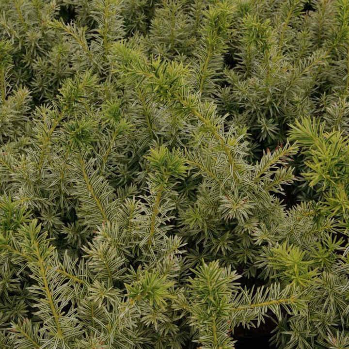 Taxus media Plant - Densiformis
