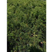 This is a very uniform yew which forms a compact, broad pyramidyl shape with dark green foliage which is maintained through the winter. Can be used fo