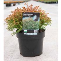 Thuja occidentalis Plant - Golden Tuffet