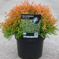 Thuja occidentalis Plant - Rheingold