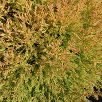 Thuja occidentalis Plant - Salland