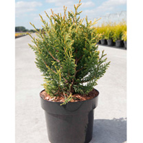 Thuja plicata Plant - Little Boy®