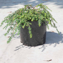 Tsuga canadensis Plant - Cole's Prostrate
