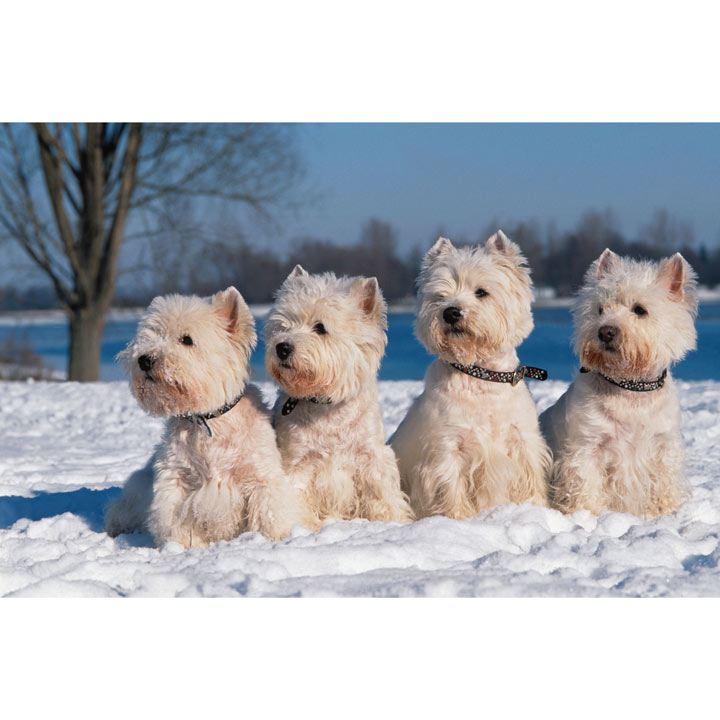 Westies in the Snow - Christmas Cards - Greetings Cards - Charity ...