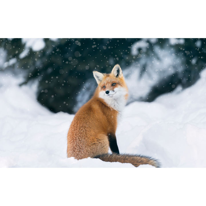 Winter Fox - Christmas Cards - Greetings Cards - Charity Gifts ...