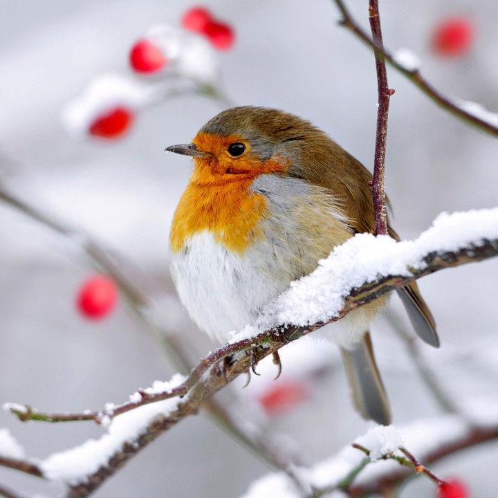 Robin Redbreast Christmas Cards