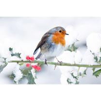 Snowy Robin Christmas Cards