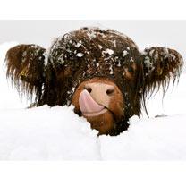 Highland Christmas - Christmas Cards