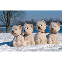 Westies in the Snow Christmas Cards
