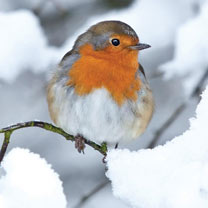 Christmas Robin - Christmas Cards