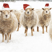 Three Wise Sheep - Christmas Cards