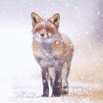 Red Fox in the Snow - Christmas Cards
