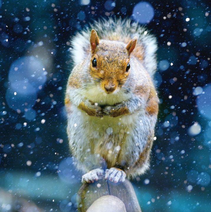 Christmas Squirrel - Christmas Cards