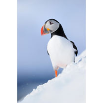 Arctic Puffin Cards