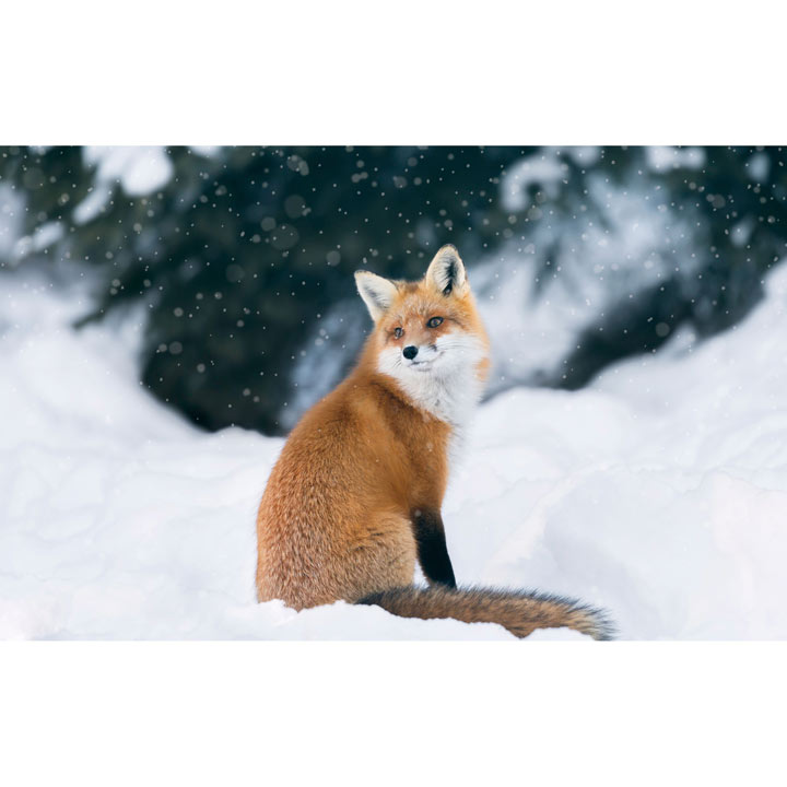 Fox in the Snow Cards