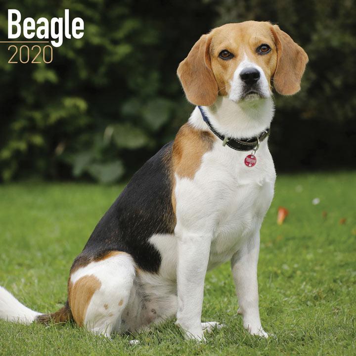 Dog Breed Calendar - Beagle