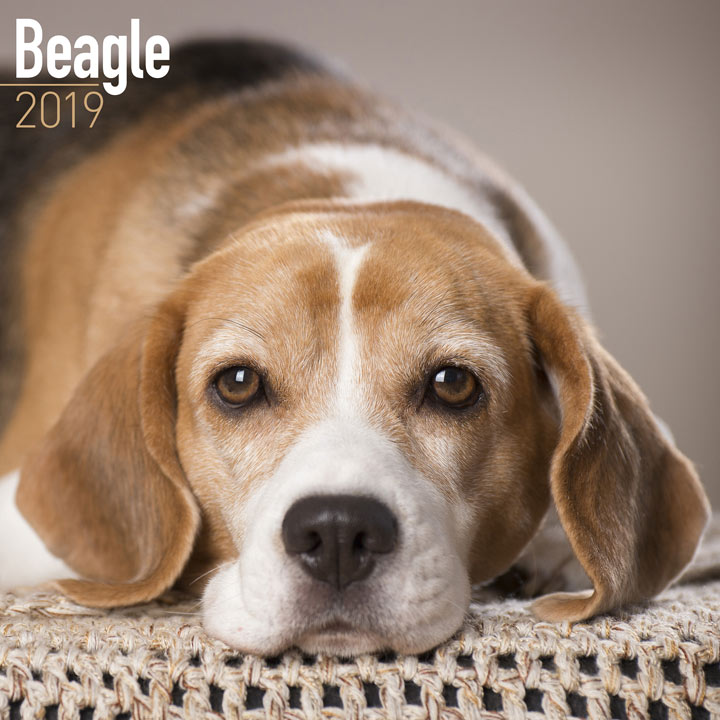 Dog Breed 2018 Calendar - Beagle